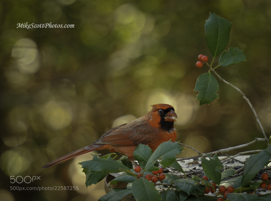 Photograph Male Cardinal in holly by Mike Scott on 500px