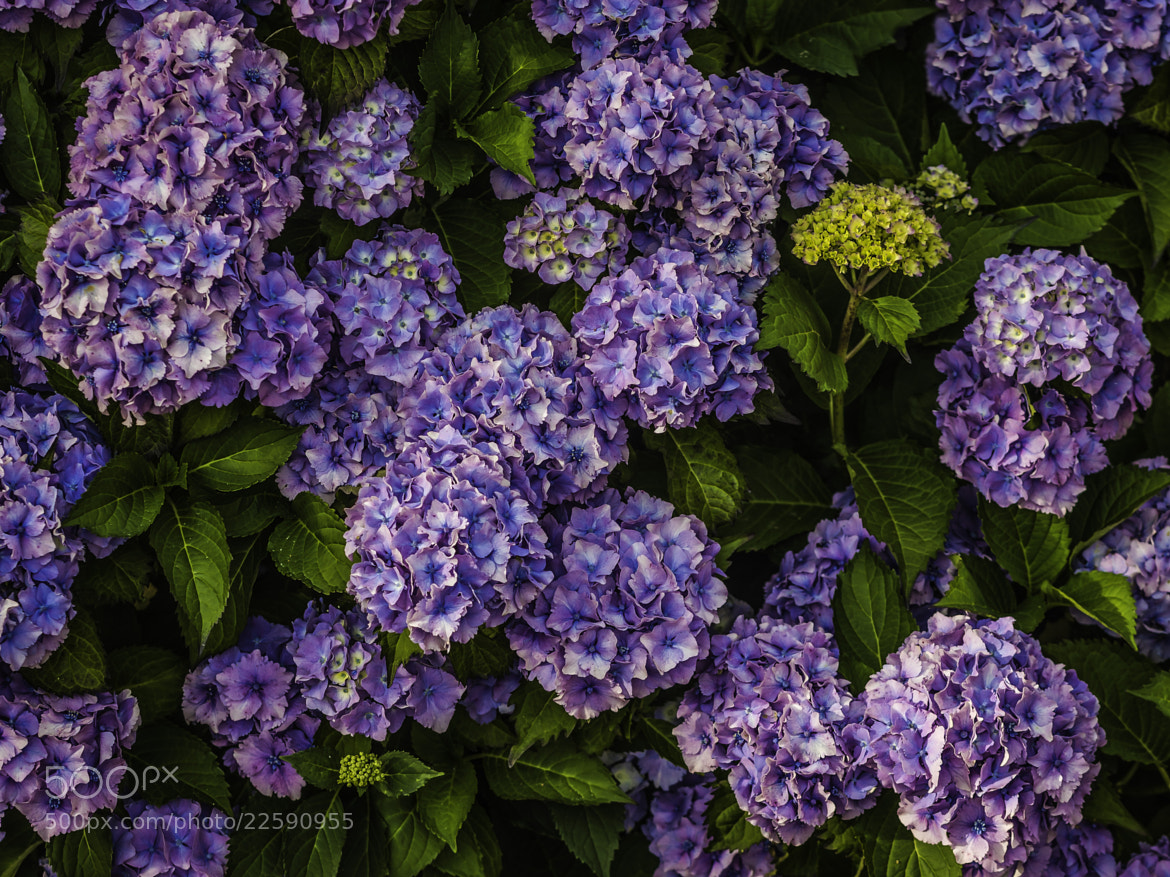 Photograph Flowers by Mathias Vejerslev on 500px