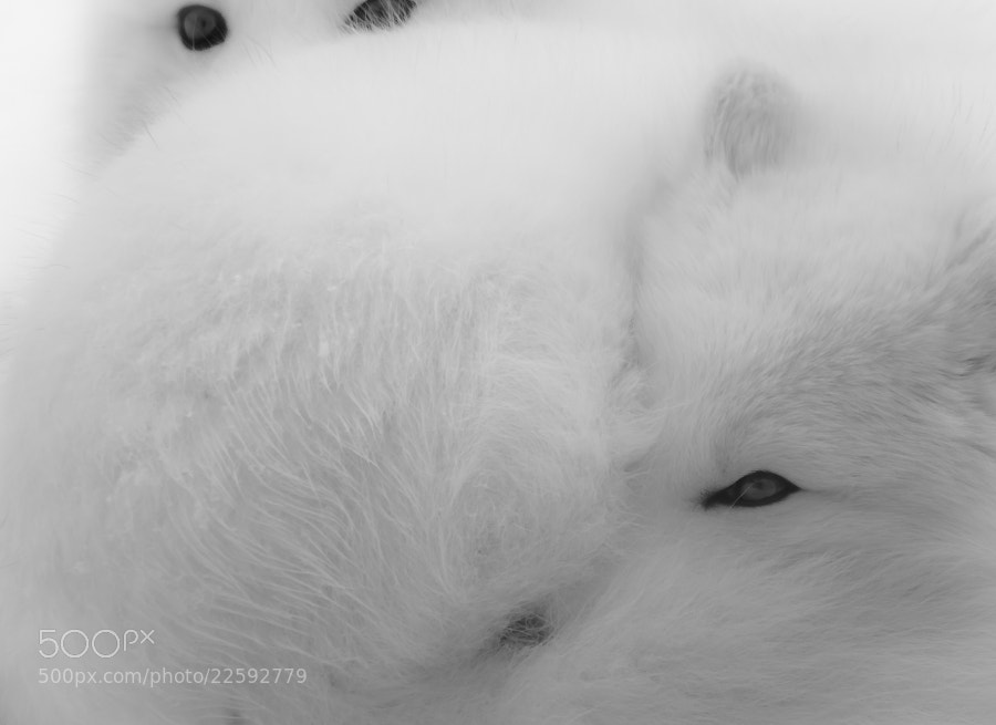 Young arctic foxes bundle together.