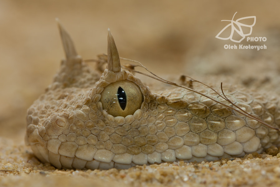 Photograph The Horned Desert Viper by Oleh Krotovych on 500px