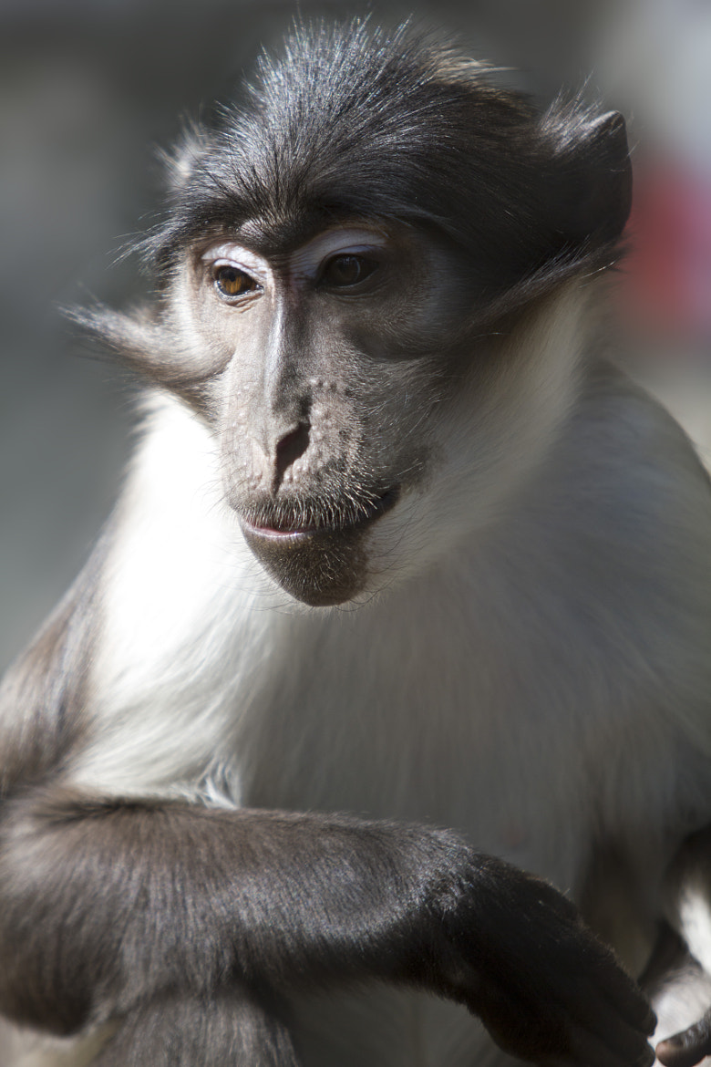 Photograph Thoughtful Mangabey by Arthur S on 500px
