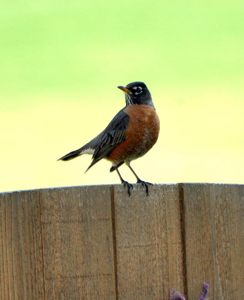 Photograph Robin by Uta Abate on 500px