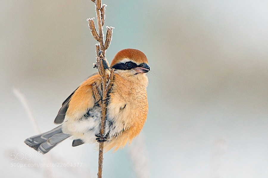 Photograph Bull-headed Shrike by Young Sung Bae on 500px