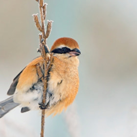 Bull-headed Shrike by Young Sung Bae (ysbae491)) on 500px.com