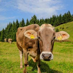 Eine Kuh im Allgäu