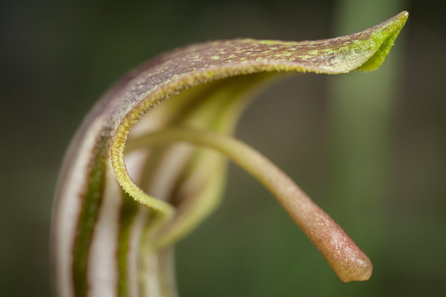 Photograph Arisarum vulgare by Stavros Markopoulos on 500px