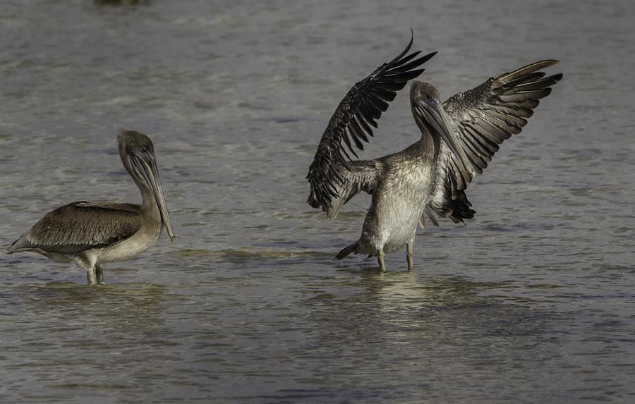 juvenile pelicans big