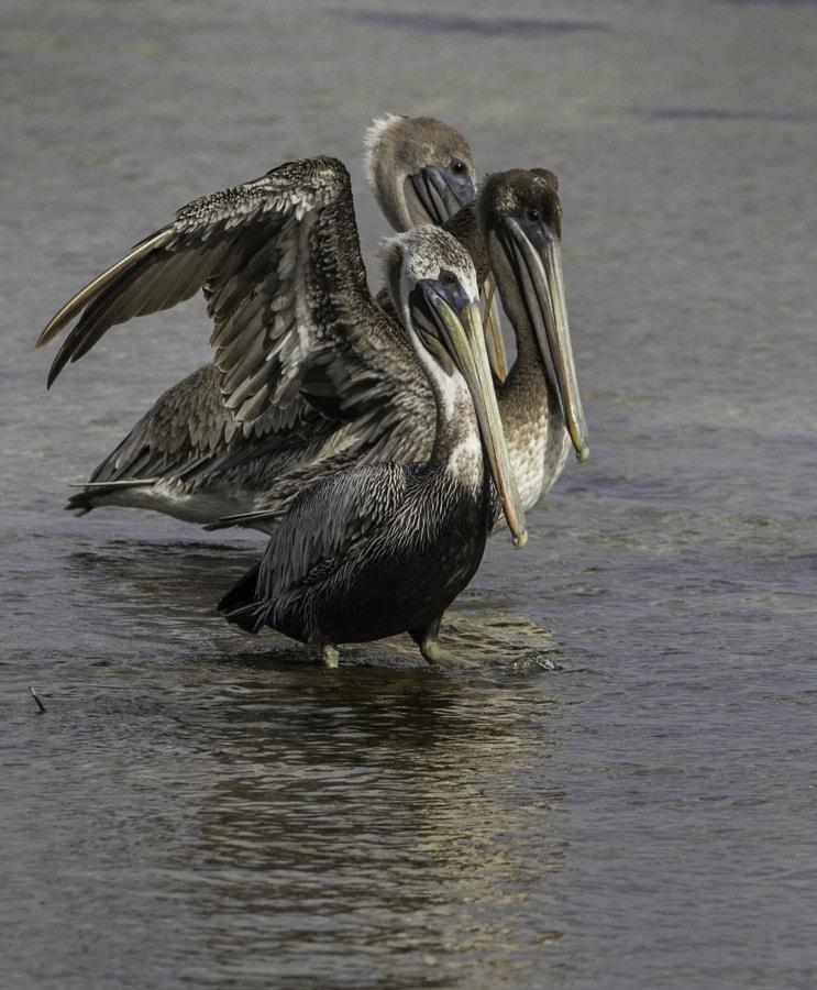 pelicans posing
