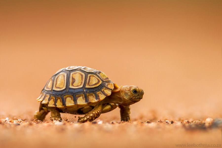 Photograph Baby Tortoise by Lee Bothma on 500px