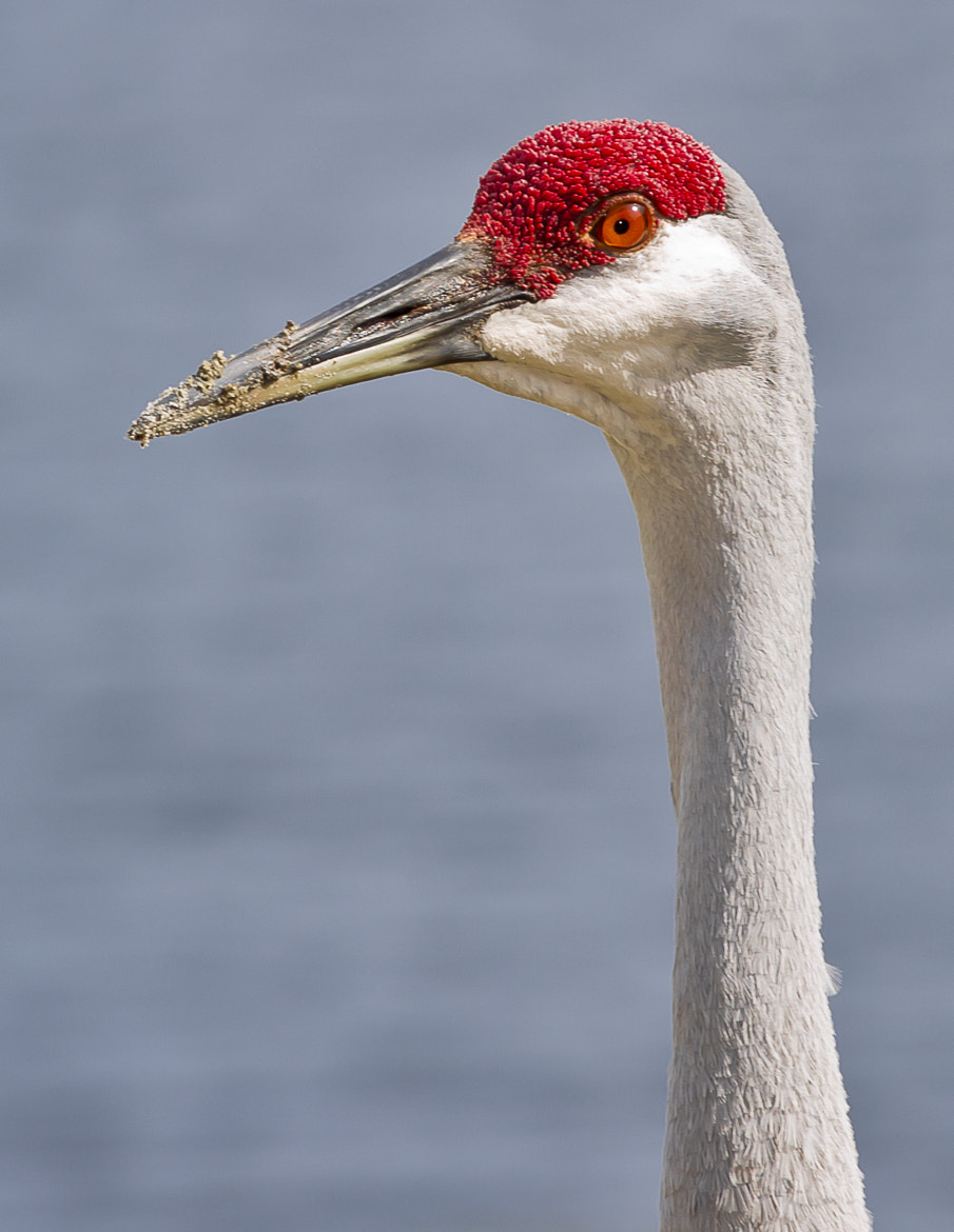 Photograph Sandhill Crane by Grisselle Rivera on 500px