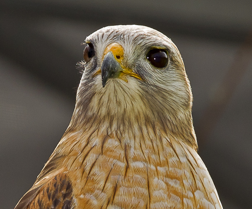 Photograph Hawk by Grisselle Rivera on 500px