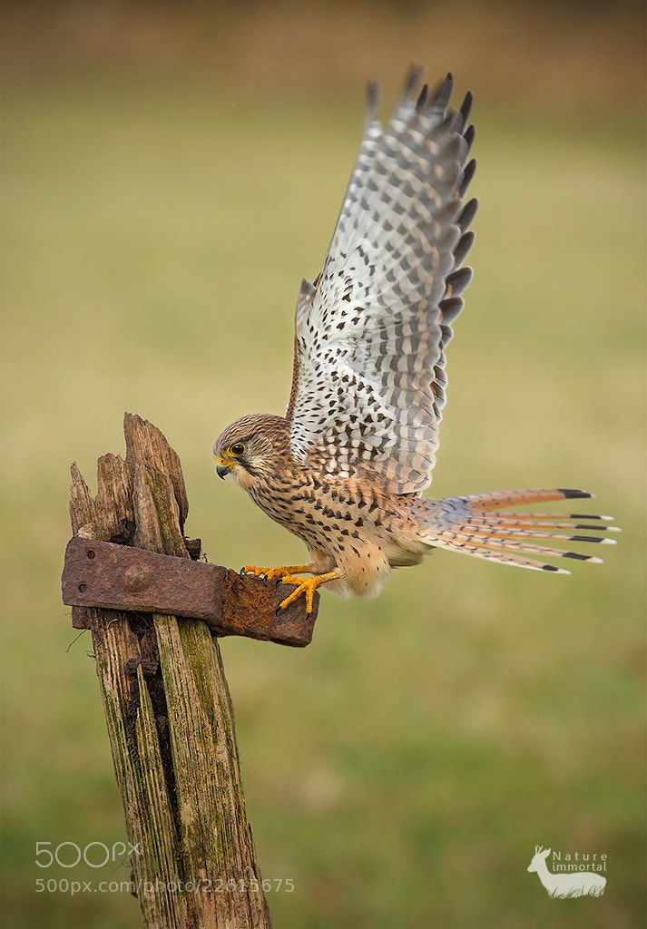 Photograph Female kestrel on old textured gate post by Neil Burton on 500px