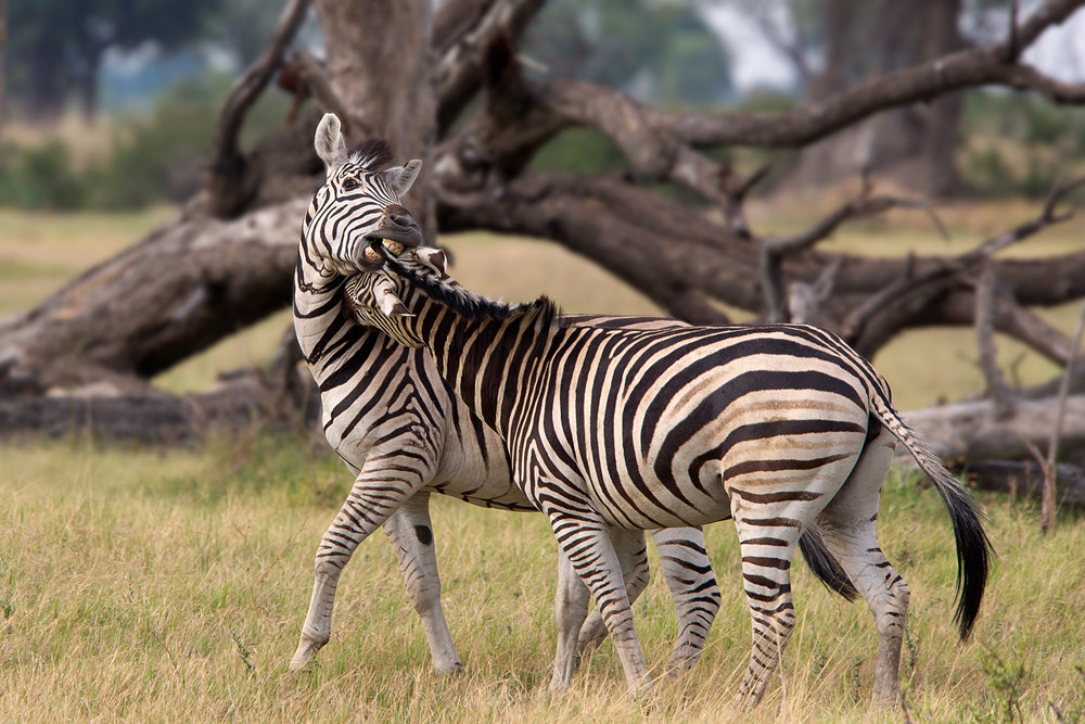 Photograph Zebra discussion by Thomas Retterath on 500px