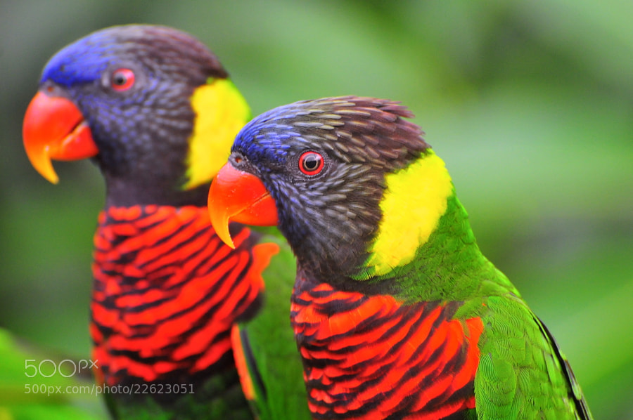 Photograph Lorikeets by Heshan  de Mel on 500px