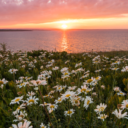 Daisies at Sunset