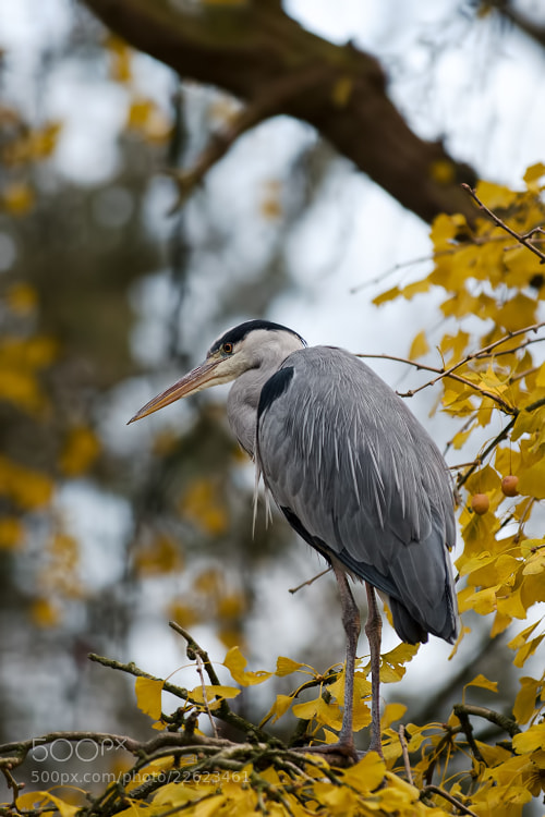 Photograph Heron by Stéphane HERBST on 500px