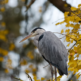 Heron by Stéphane HERBST (bidulon)) on 500px.com