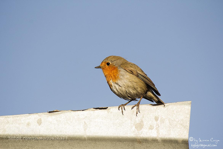 Photograph Robin Bird by Mireia Ecija on 500px