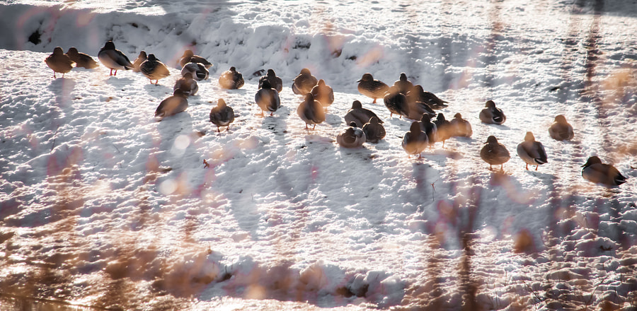 On the banks of the Clinton River you'll find flocks of ducks riding out the winter.