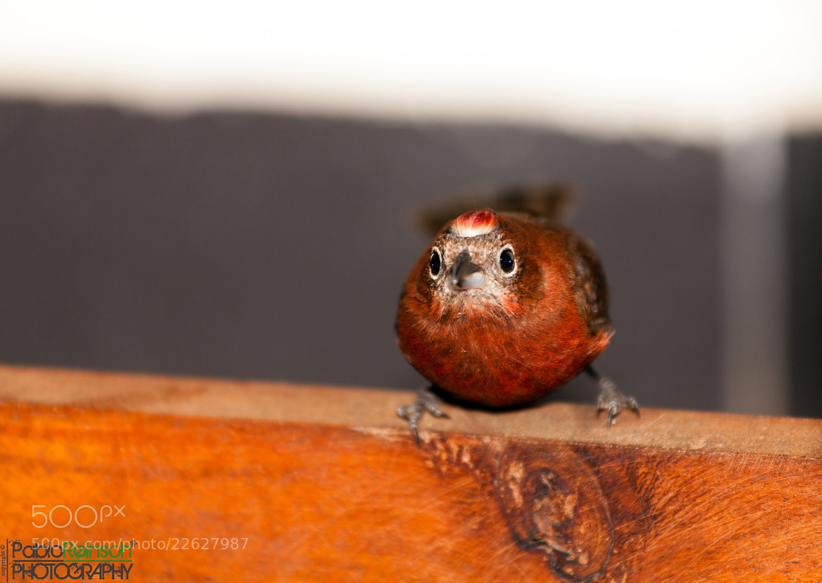Photograph Brasita - Red Pileated Finch by Pablo Reinsch on 500px