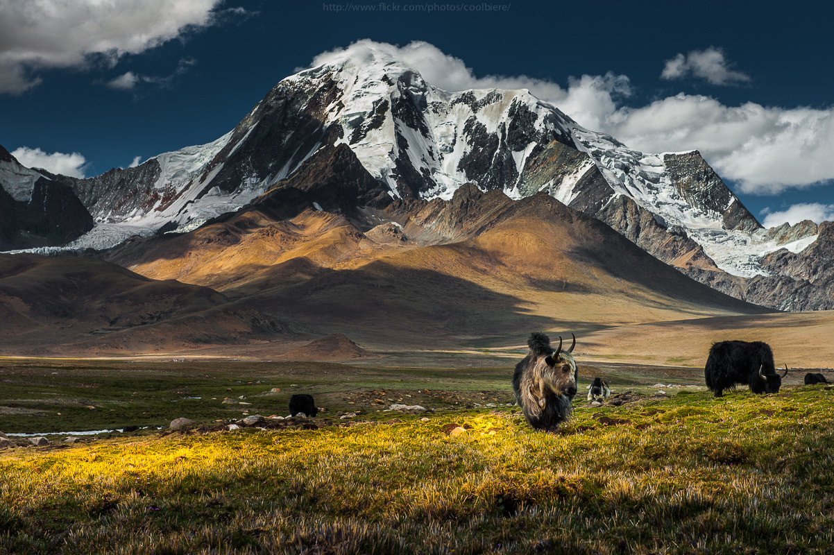 Photograph Yak herd over Tibetan plateau by Coolbiere. A. on 500px