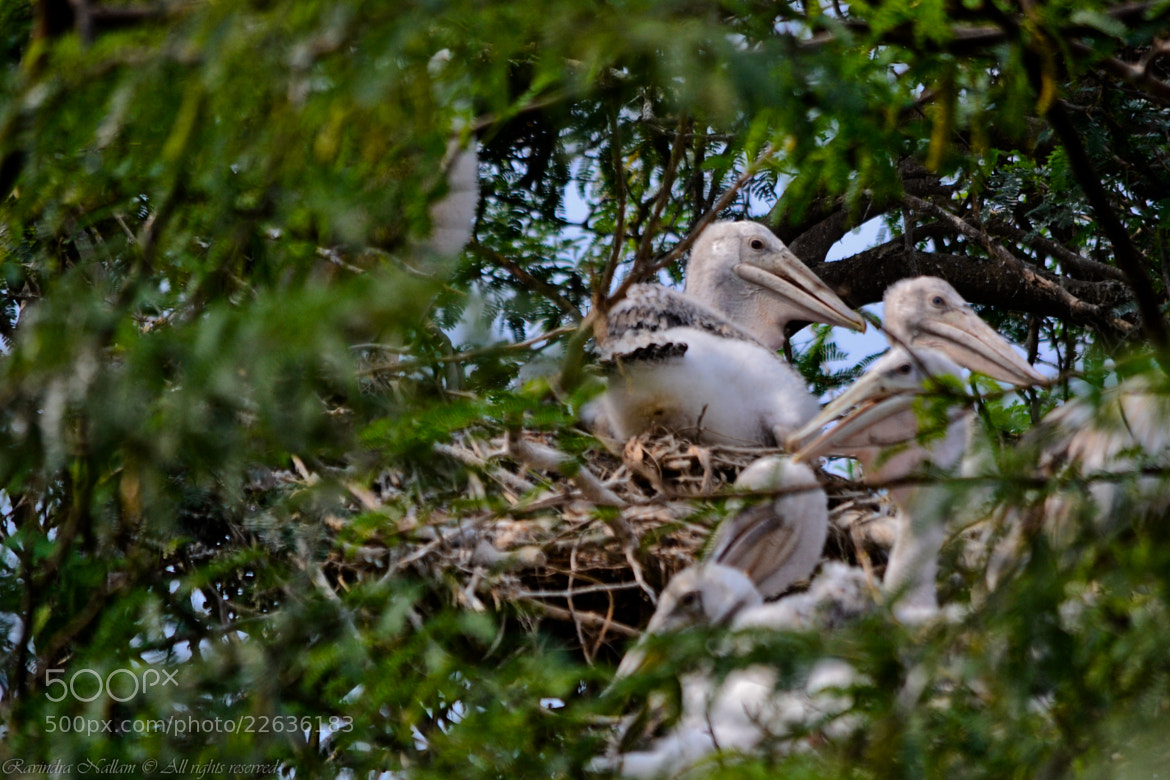 Photograph Spot-billed Pelican - Young ones in Nest by Ravindra Babu on 500px