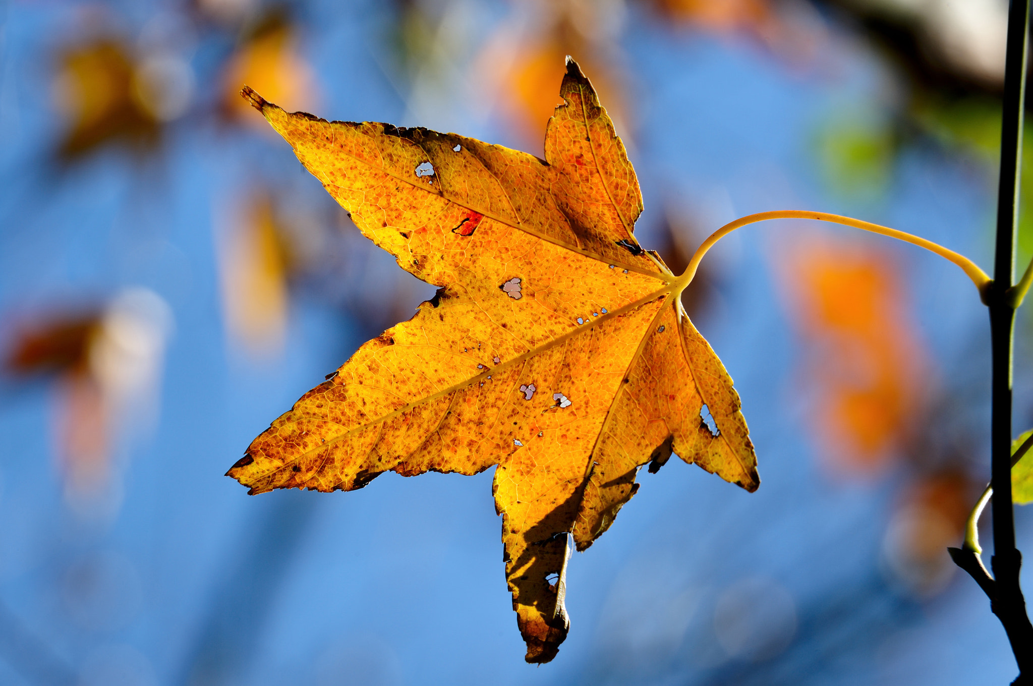 Photograph Maple Leaf by Pai-Shih Lee on 500px