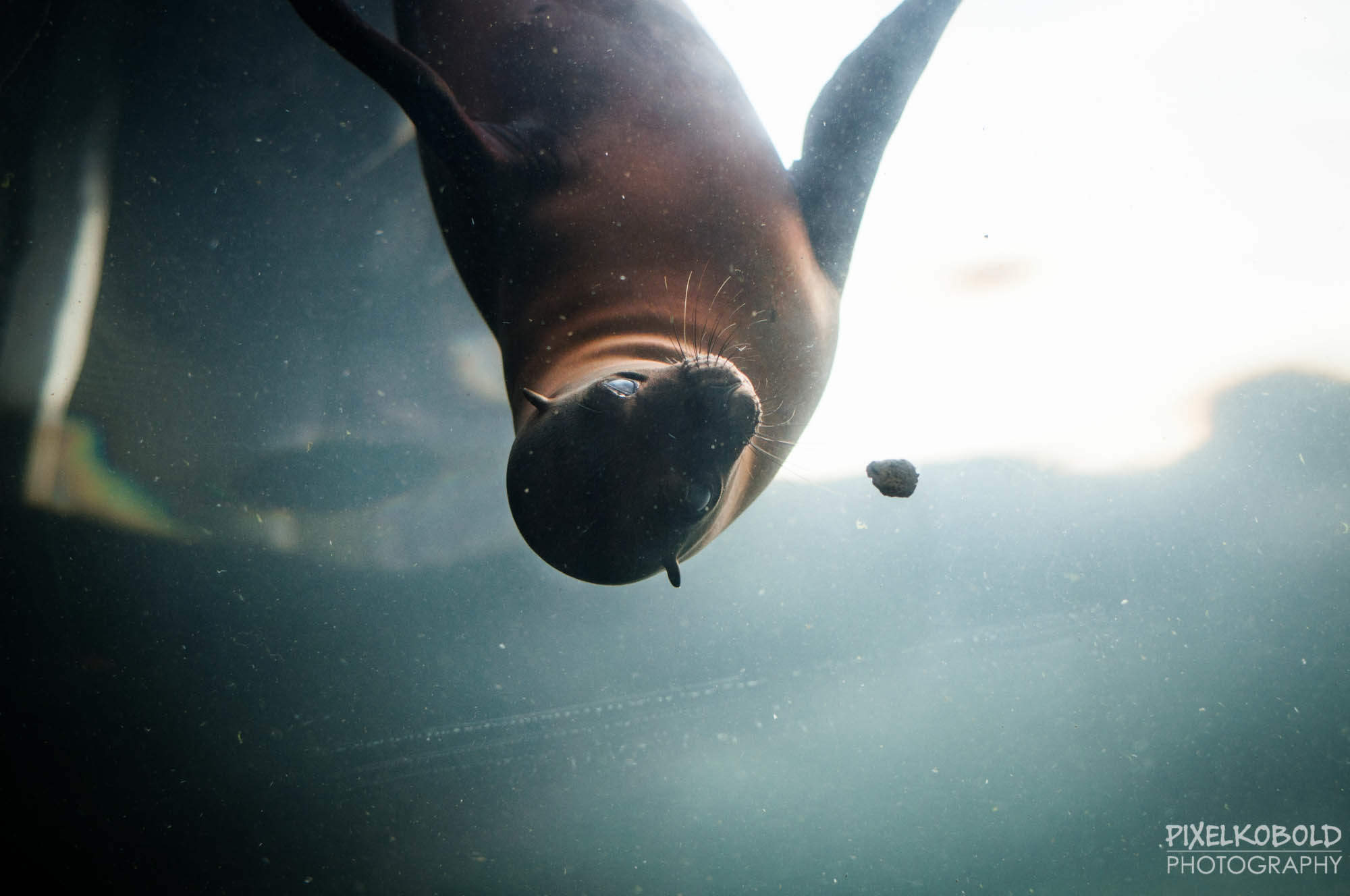 Photograph Seal underwater by Pixelkobold Photography [Gordon Gurray]  on 500px