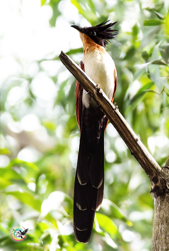 Photograph Chestnut-Winged Cuckoo by Andy Fu on 500px