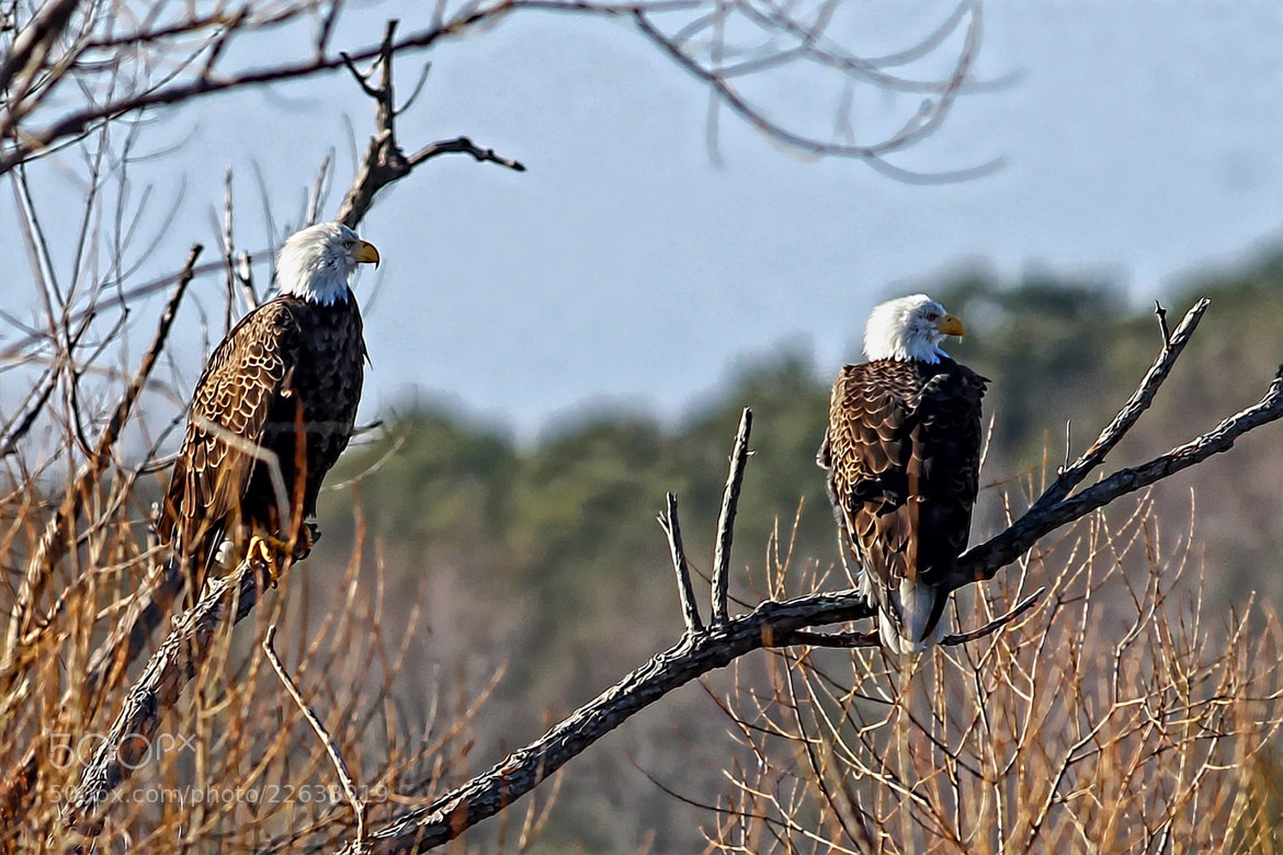 Photograph Bald Eagles by tony quinn on 500px