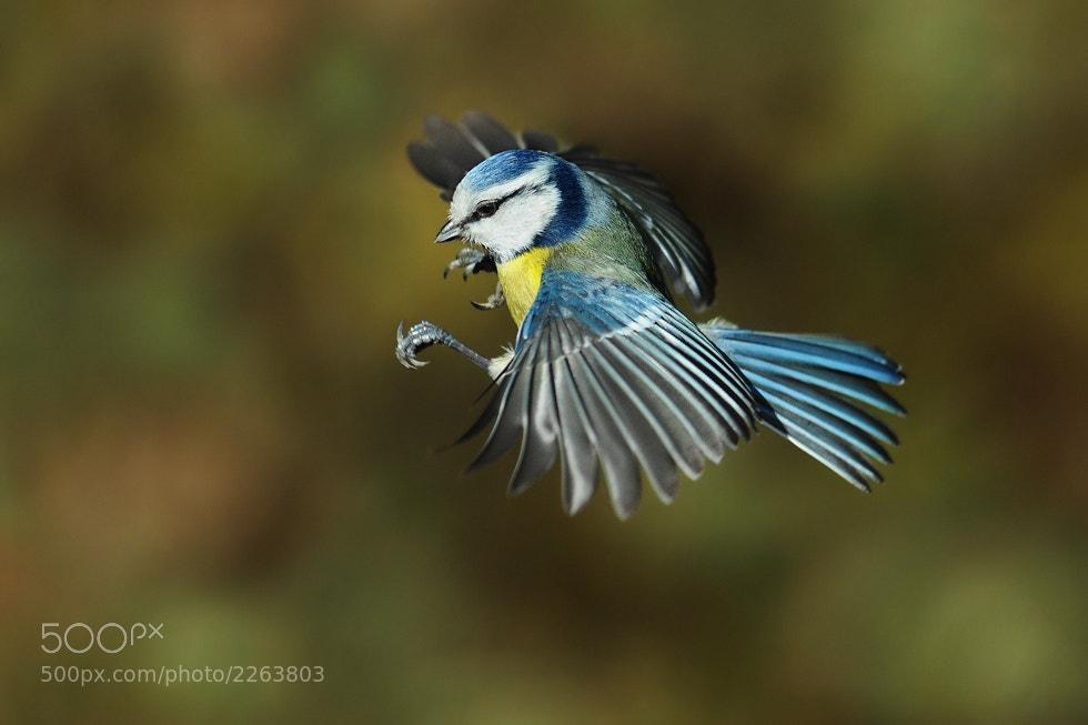 Photograph Blue tit by Milan Krasula on 500px