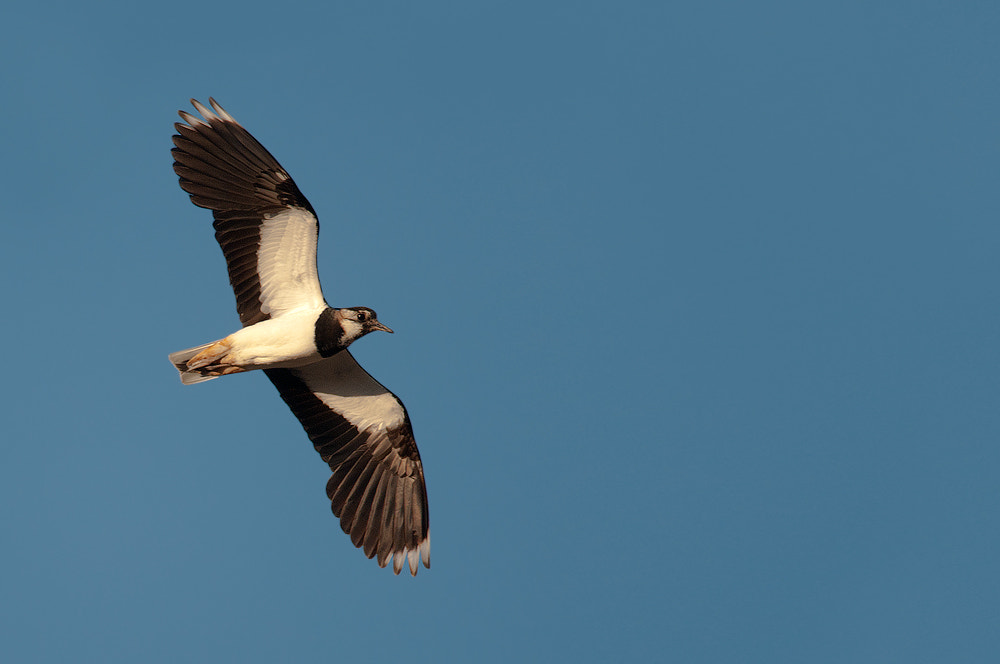 Photograph Northern Lapwing by Rob Janné on 500px