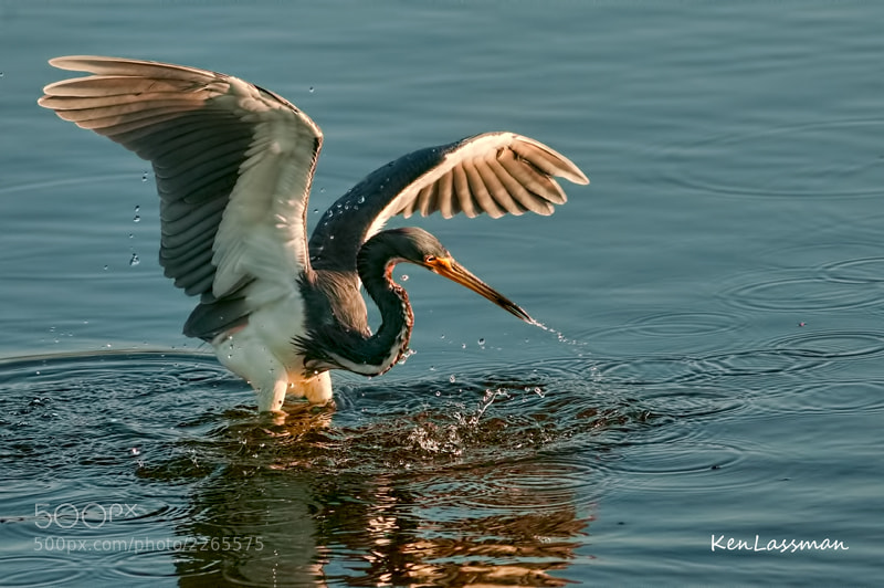 """Tricolored Heron in """"canopy hunting mode"""""""