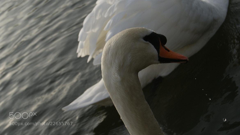 Photograph Swan's Beauty by Robin Jones on 500px