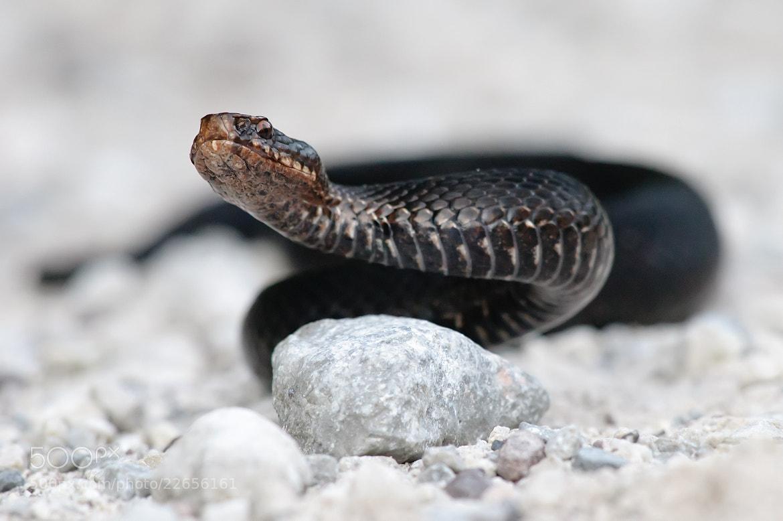 Photograph Marasso snake by Lorenzo Cavalieri on 500px