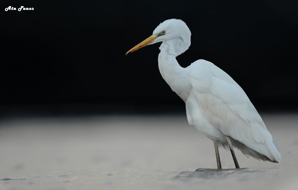 Photograph Egretta  alba by panos peradonakis on 500px