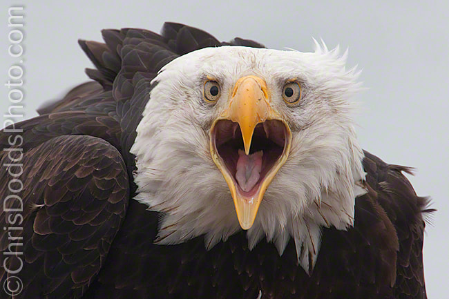 Photograph SCREAMIN' EAGLE II by Christopher Dodds on 500px
