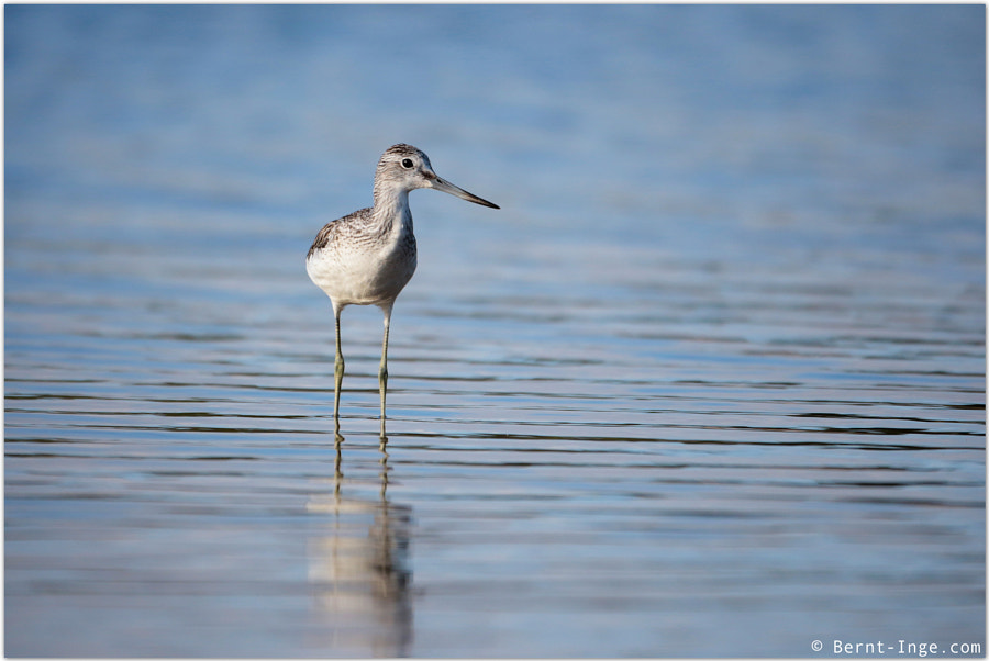 Common Greenshank by Bernt-Inge Madsen on 500px.com