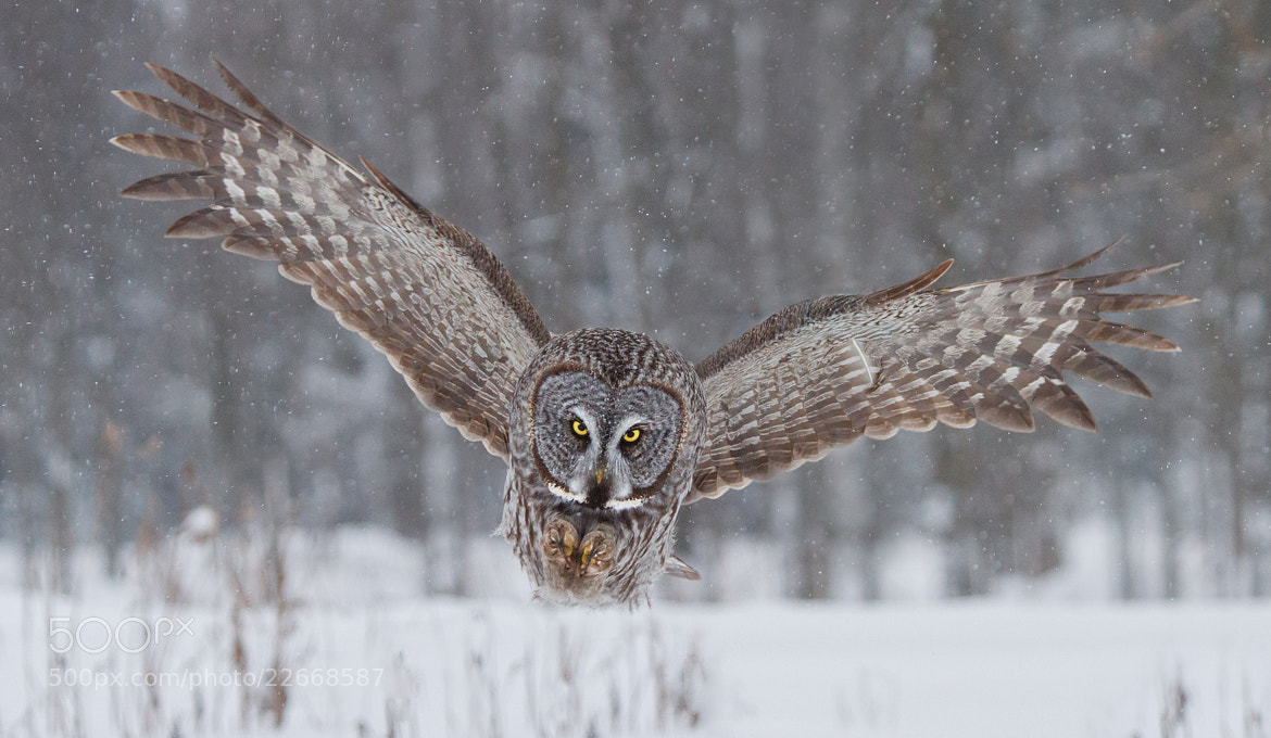 Photograph Great Gray Owl Down-the-barrel Hunt. by Daniel Cadieux on 500px