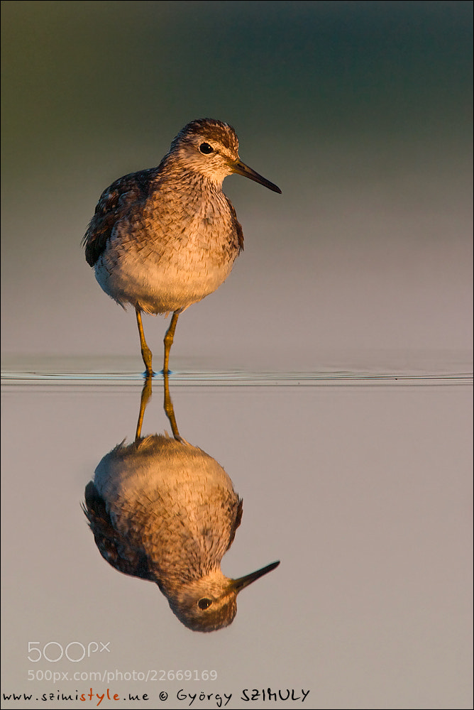 Photograph Wood Sandpiper (Tringa glareola) by Gyorgy Szimuly on 500px