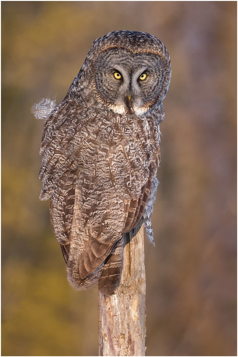 Photograph Great Gray Owl by Pierre Giard on 500px