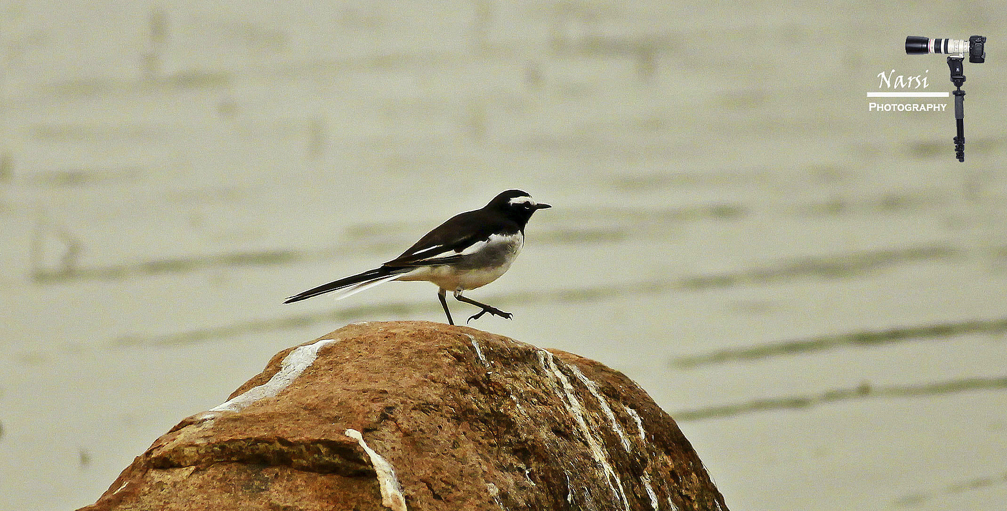 Photograph Black-and-white Warbler !!!  by Narasimhan N on 500px