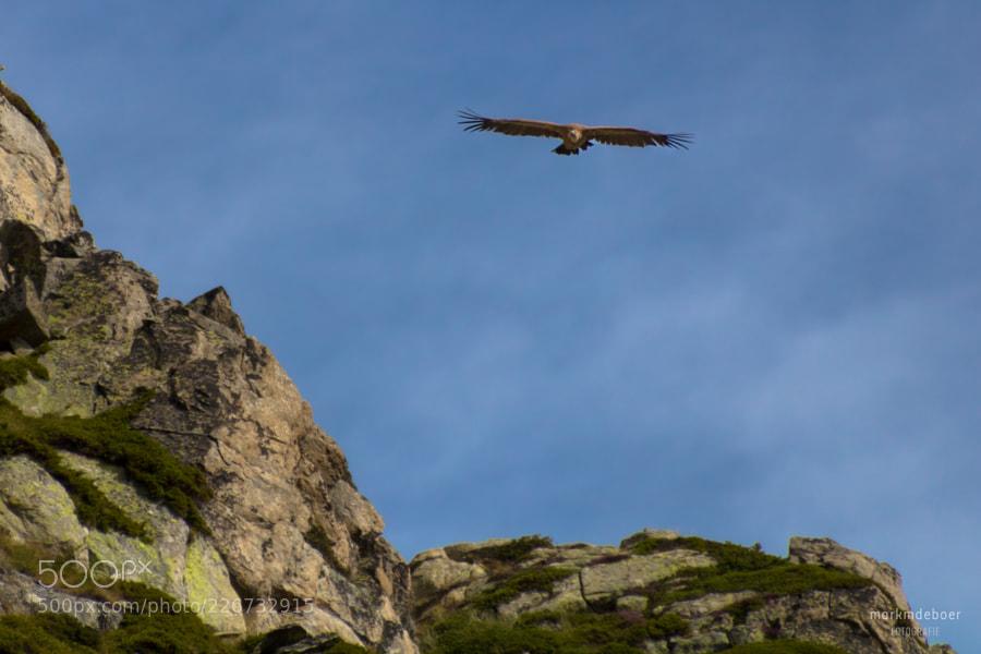 Griffon vulture (2)