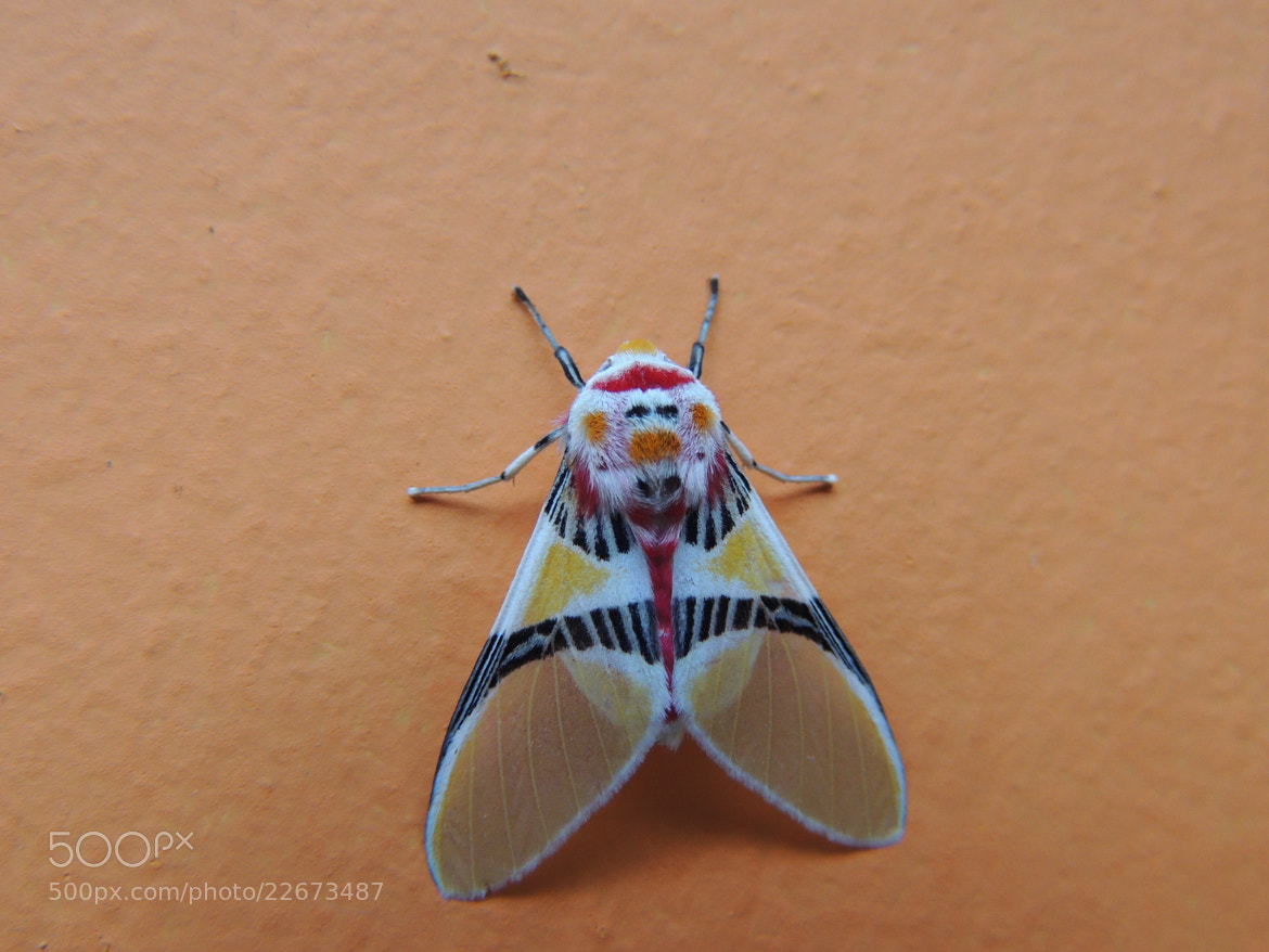 Photograph Moth Clown-face by harsuam  on 500px