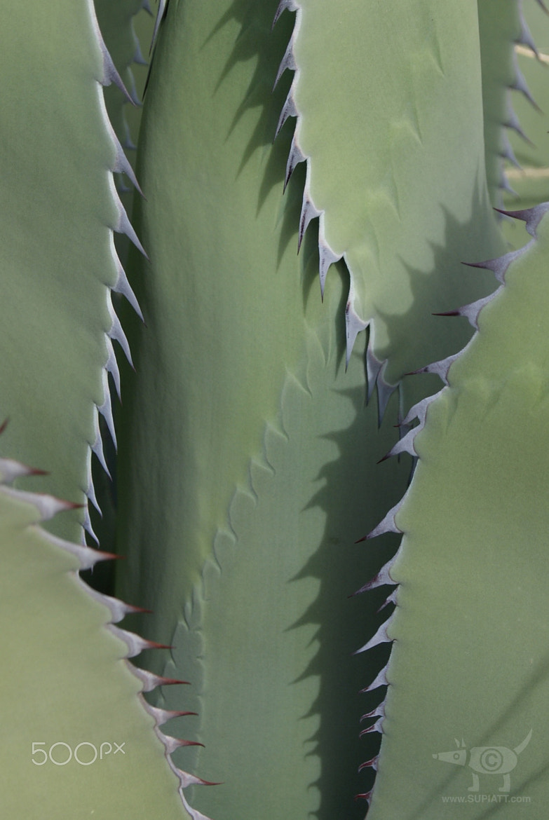 Photograph Agave: Up Close and Personal! by su piatt on 500px