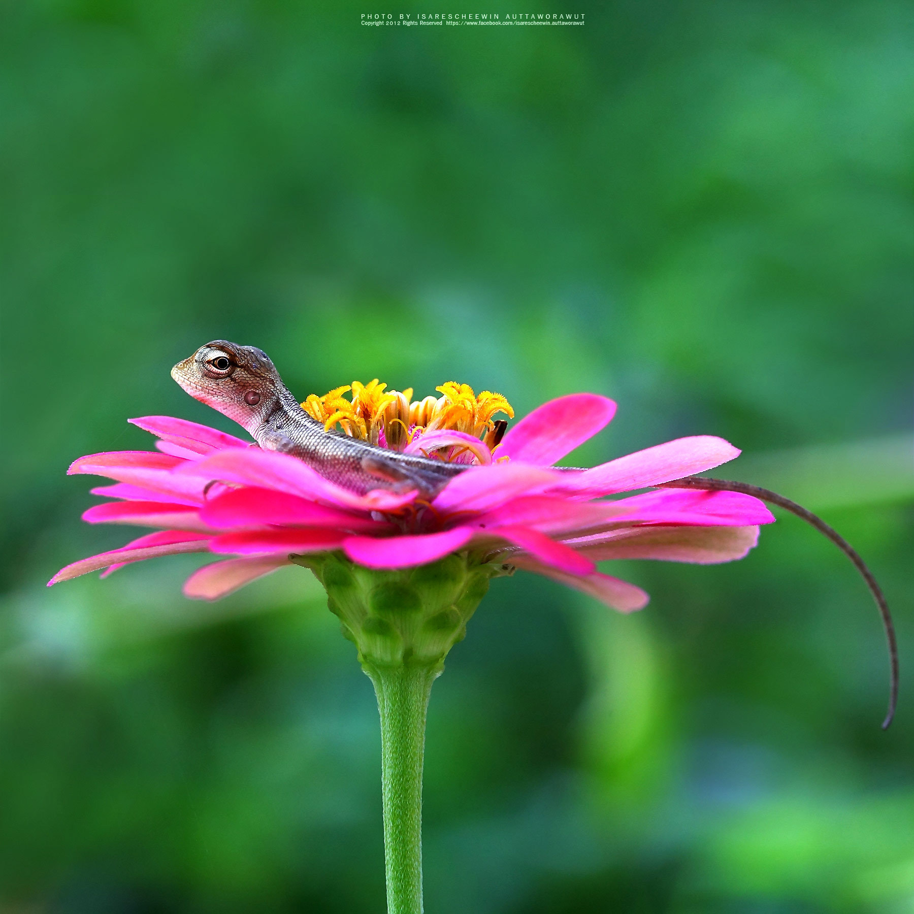 Photograph Thai chameleon on the pink flower by isarescheewin on 500px