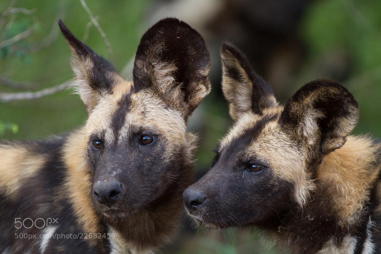 Photograph Wild Dog Duo by Ryan Viljoen on 500px