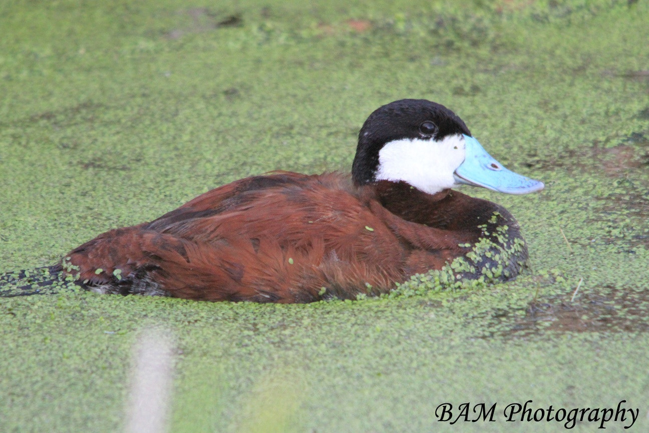 Photograph Ruddy Duck by Brooke M on 500px