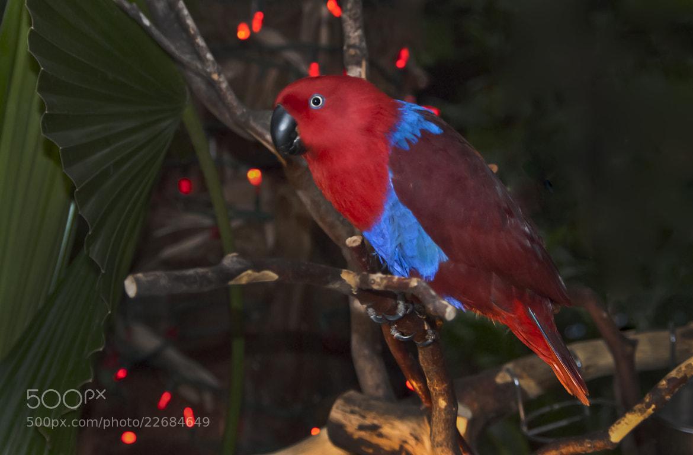 Photograph Eclectus parrot by Eva  Krejci on 500px