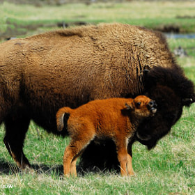 A baby bison calf gets some love from mother by Rodney Ninow (RodneyNinow) on 500px.com